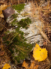 Birch bark near Bond Falls, Upper Michigan