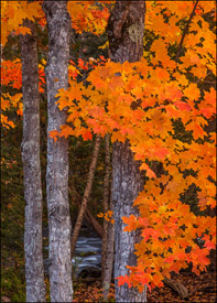 Orange maple trees near Bond Falls, Upper Michigan