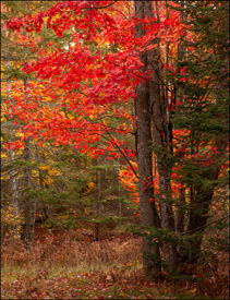 Red maple trees near Bond Falls, Upper Michigan