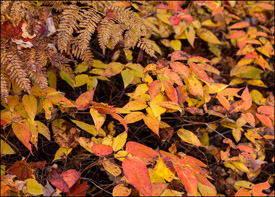Yellow leaves near Bond Falls, Upper Michigan