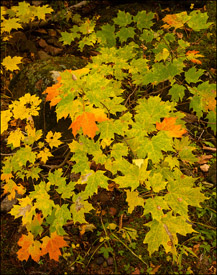 Maple saplings near Bond Falls, Upper Michigan