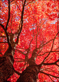 Flaming red maple tree near Bond Falls, Upper Michigan