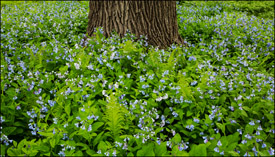 Blue Bells and an oak tree in Oshkosh, Wisconsin