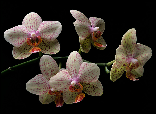 Unique Green Orchid Bonsai Flowers Formaldehyde Air Purification Seeds Phalaenopsis Orchids 100 Pcs China