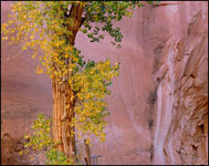 Cottonwood Tree in Willow Gulch in Fall, Glen Canyon National Recreation Area, Utah